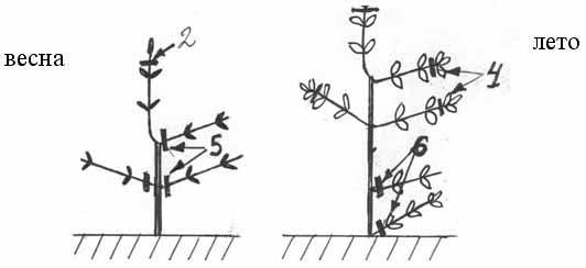 метельчатая гортензия формирование штамба второй третий год